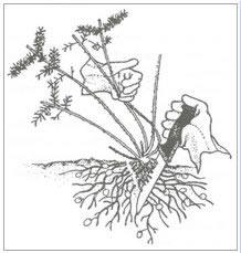 Asparagus Fern Removal