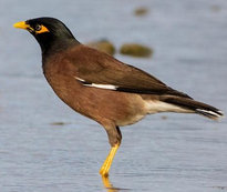 Indian or Common Myna