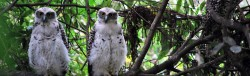 Powerful Owl family at Prince Alfred Pde Newport