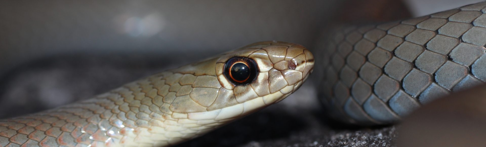 Yellow-faced Whipsnake – ©Jayden Walsh