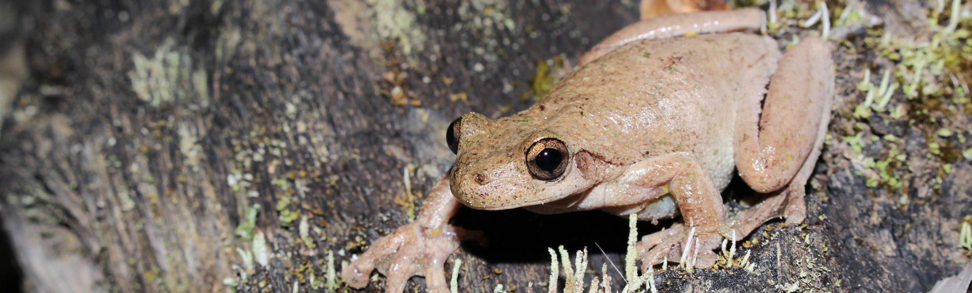 Tyler's Tree Frog – ©Jayden Walsh